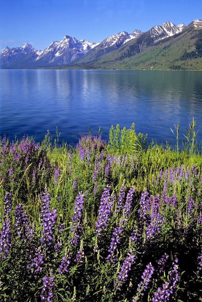 Purple lupine bloom on the shores of Jackson Lake, Grand Teton National Park, Wyoming